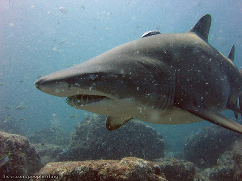 Great nurse sharks look dangerous but are harmless to people. Paedophiles are the exact reverse. Photocredit: Richard Ling