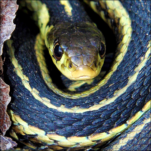 Garter snakes, also the reverse of paedophiles. People mistake them for something really dangerous but they're really harmless. Photocredit: Via Moi